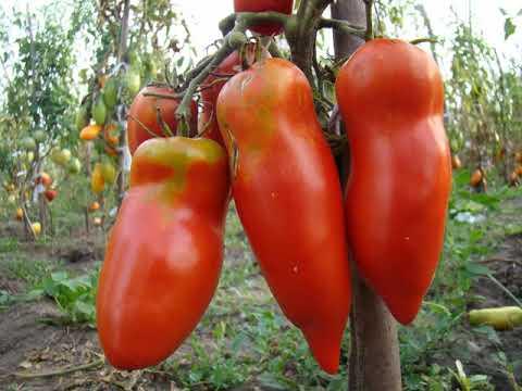 Томат «Алый мустанг», характеристика и описание сорта | характеристика | подкормка | открытом | описание | томатом | томатов | рассады | посадка | мустанг | томаты