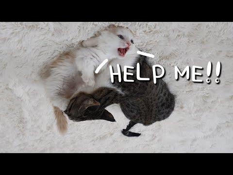 Munchikin Kitten Got Beaten by an Adult Cat│RANK WAR