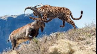 Epic Battle  Leopard   vs Clever  Ibex, Musk Ox