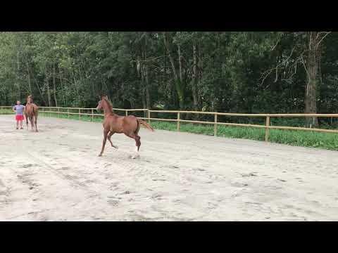 Foal de VITALIS (Porté par DIXIE BABY DES FEES)