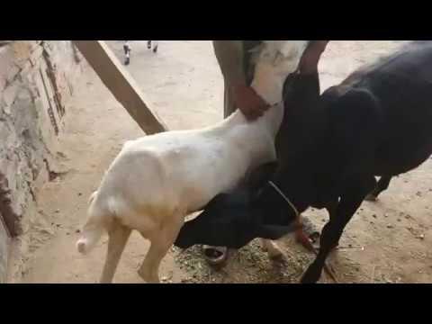 Gaye Ka Bacha bakri Ka Doodh Pe Raha He Aisi Video Jo Shayed hi Ap Ne Daikhi Ho. thumbnail