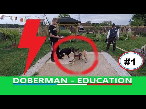 DOBERMAN CRAINTIF - AGRESSIF  Partie # 1