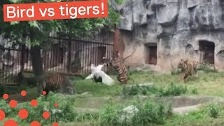 BIRD BATTLES TIGERS IN CHINESE ZOO