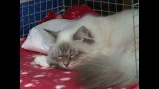 Выставка кошек «Смоленская осень»
