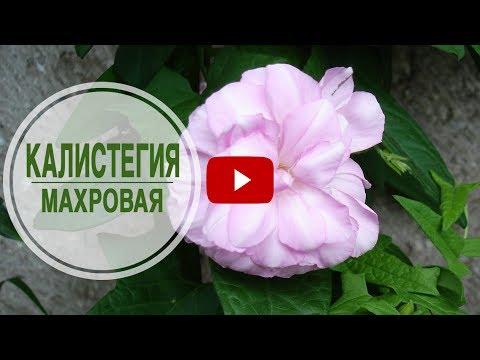 Цветущие лианы для сада 🌺 КАЛИСТЕГИЯ МАХРОВАЯ 🌺 Обзор от HitsadTV