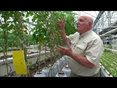 Which Tomato System Grows Best in Aquaponics?