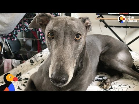Rescue Greyhound Dog Loves To Race Around His New Forever Home - BLUE | The Dodo