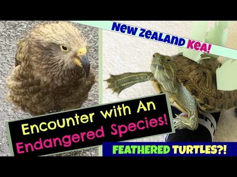 Turtle Adventures: Encounter With An Endangered Species: New Zealand KEA! (& Feathered Turtles?!) 😂