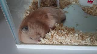 可愛い◇キンクマハムスター  この季節になると…〈サンタvol.178〉*Cute hamster/可爱的仓鼠 thumbnail