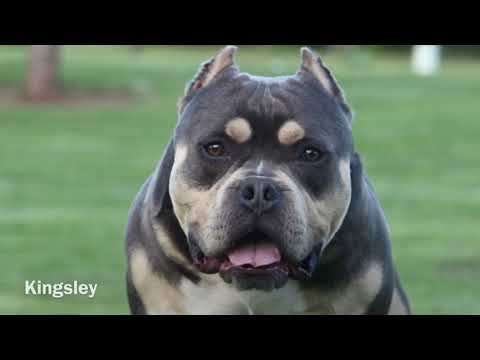 Introduction To The Tri American Bully