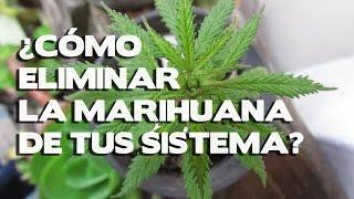 Como eliminar la marihuana de tu sistema, limpia tu organismo de la marihuana