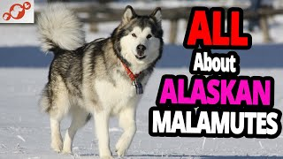 The Alaskan Malamute Dog – All About Alaskan Malamutes!