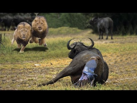 Lion Try To Steal Newborn Buffalo After Mother Buffalo Giving Birth   Animals Protect Fail