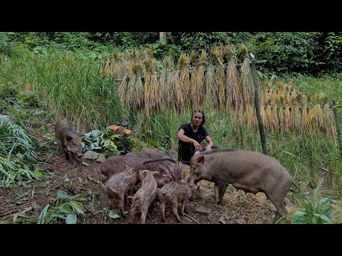 Preparing To Release Pigs To The Wild, Survival Instinct, Wilderness Alone, survival, Episode 149