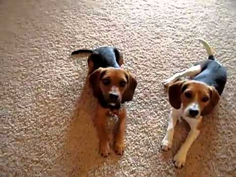 Home Grown Pocket Beagles In Action