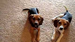 Home Grown Pocket Beagles In Action!  Part 2