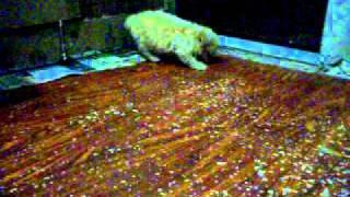 Poodle Micro Toy Com 54 Dias E Yorkshire Terrier De 60 Dias