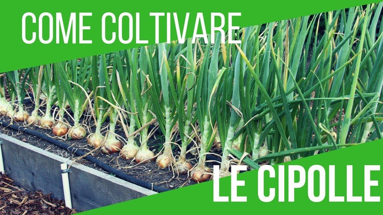 Coltivare cipolle semina 6 variet differenti orto e for Semina cipolle