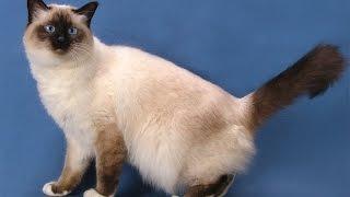 бирманская кошка описание породы содержание и уход