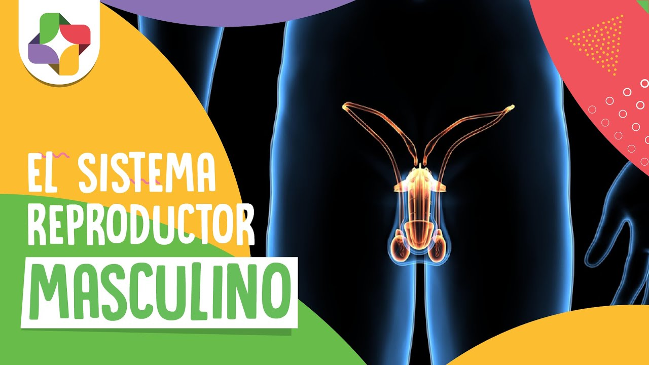 Sistema reproductor masculino - Biología - Educatina - YouTube