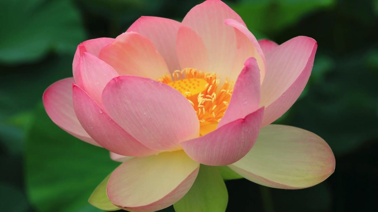 4k Beautiful Japanese Ancient Lotus Flower Youtube