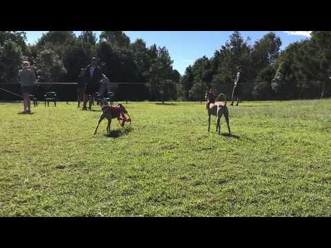 Italian Greyhound showing off their speed at Seventeen Mile Rocks parks