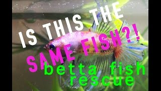 One betta fish's incredible recovery! Willy the rescue betta.