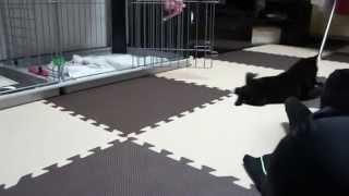 スキッパーキ「クー」の動画。生後3ヶ月目。クーがルンバならぬクンバに...