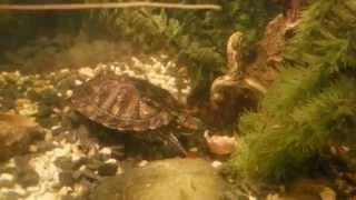 Красноухая черепаха с аппетитом поедает яичную скорлупу