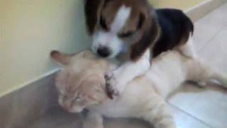 Tiny Beagle Vs Cat