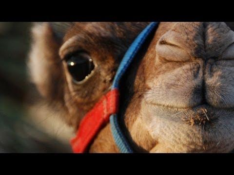 Nom nom nom... Camel eats a pineapple