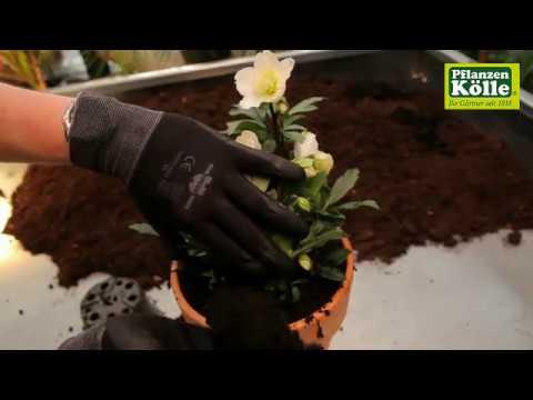 Kölle Weihnachtsdeko.Christrose Einpflanzen In Ein Gefäß I Pflanzen Kölle