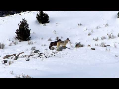 Canyon Pack Greeting - A Yellowstone Wolf Morning