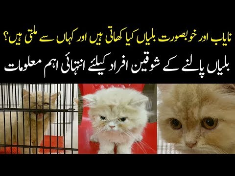 Best Breeds of Imported Cats In Pakistan | How To Take Care Of Cats At Home?