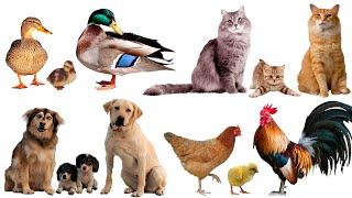 Домашние животные и их детёныши 🐮 Учим животных 🐶 Развивающие мультики ( 2+) 🐓 Карточки Домана