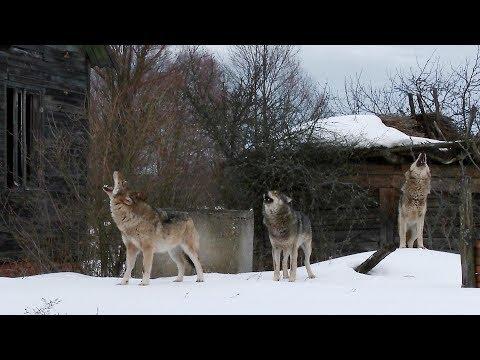 Стая волков в