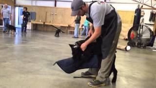"""Giant Schnauzer """"yoshi"""" Protection & Obedience Trained K9 For Sale"""