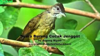 Suara Burung Cucak Jenggot