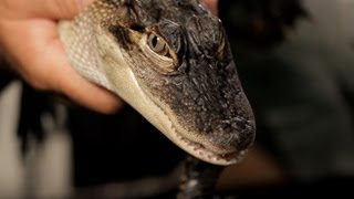 9 Cool Facts about Alligators | Pet Reptiles