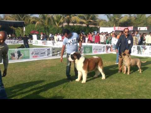 Ahmedabad Dog Show | Group 2 Judging | 1 Jan 2016 | Dogs99.com