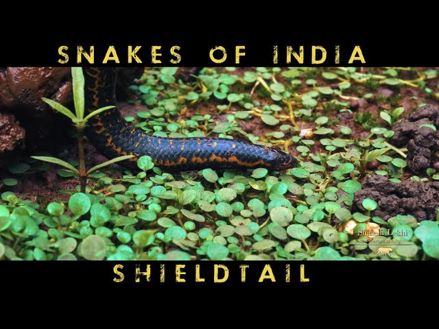 India's Pencil Sized Snake - The Shieldtail Snake