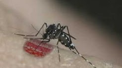 Aedes aegypti and Aedes albopictus - A Threat in the Tropics - PART 1