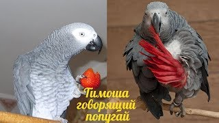 Timosha is a talking parrot, a breed of Jaco. Compilation video #3