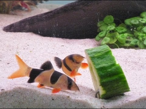 How To Feed Your Fish Cucumbers!!(updated)