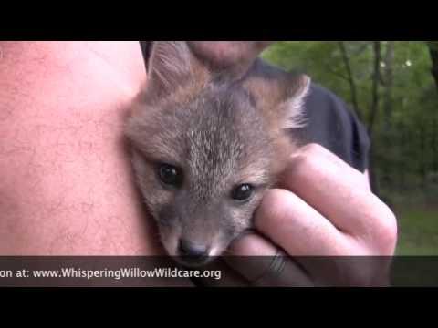 Tiny Female Grey Fox Rescued