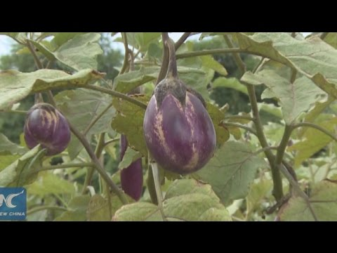 Chinese technology  boosts farming in Ghana