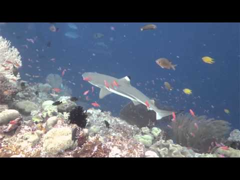 Snorkelling with Sharks at Uepi Resort Solomon Islands