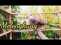 Perkutut Lokal Suara Besar Suara Hutan Langsung Ngadu  Mp3 - Mp4 Download