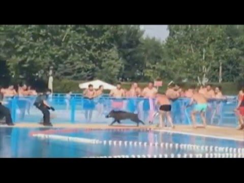 Un jabal se col en la piscina de tomelloso este fin de for Piscinas tomelloso