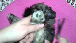 Shih Tzu Puppy Grooming - How To Trim Paw Hair With Scissors